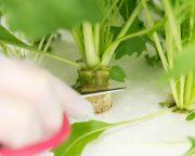 レンタル水耕菜園「たなばたけ すくすく」