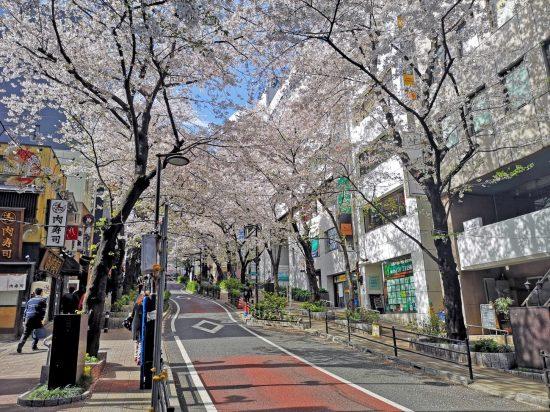 桜丘は桜の名所