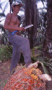 アブラヤシの果房