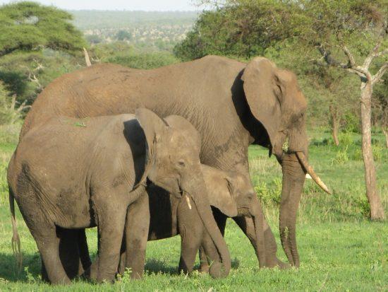 アフリカゾウイメージ
