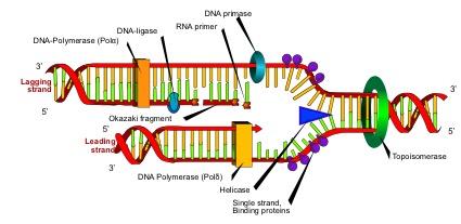 DNAの複製