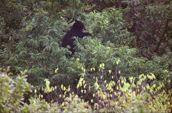 ソロキャンプブームに陰を落とす最凶クマが大量出没中!