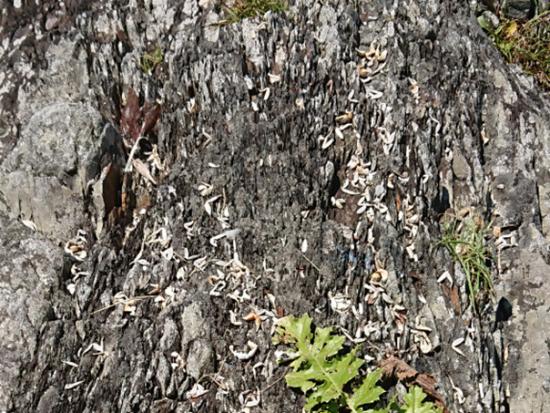 小川近くの岩の上に散乱していたカニの食痕