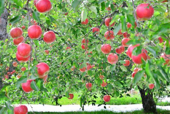 リンゴ畑イメージ